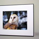 bawn owl photo @ the greenbelt exhibit, mcmichael gallery